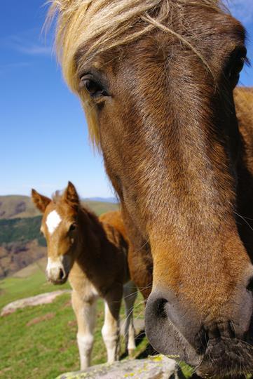 Le pottok basque est un petit cheval de montagne